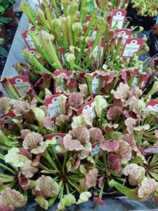piante carnivore sarracenia