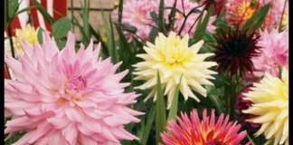 """dalie """"fiore di cactus"""""""