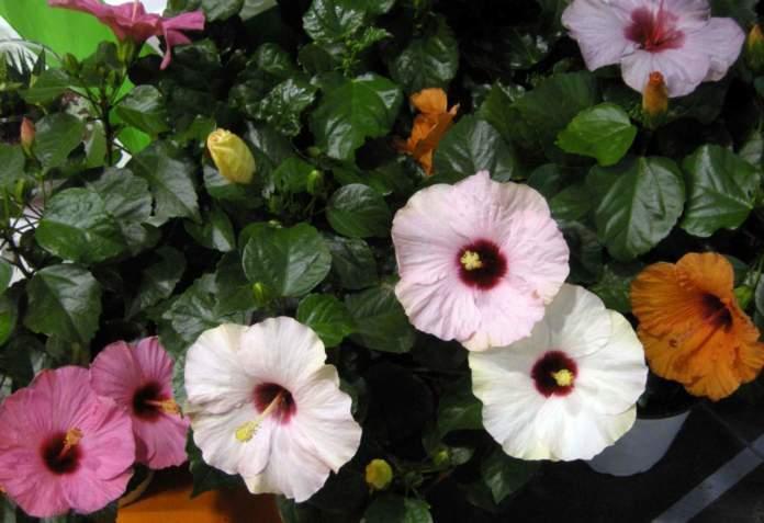 piante della giungla; hibiscus rosa-sinensis