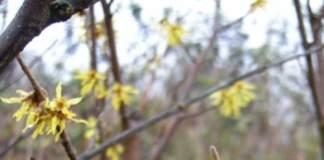 amamelide hamamelis fiori