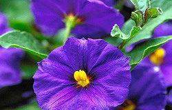 Solanum piante bassa manutenzione