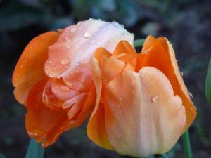 2011/11/Tulipani%20e%20Gocce%20di%20Pioggia.JPG