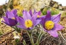 piante a rischio estinzione pulsatilla