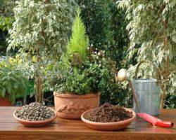 conifere in vaso piante vaso autunno