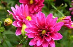 dalia rosa bulbose estive