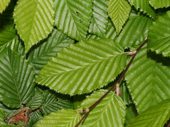 carpinus betulus foglie