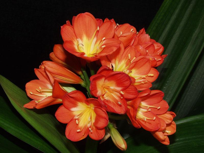 Pianta Fiori Arancioni.Clivia Com E Fatta E Come Si Cura Passione In Verde