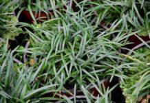 convallaria japonica tappezzante