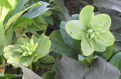 fiori verdi
