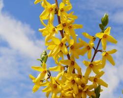 forsizia fiori gialli