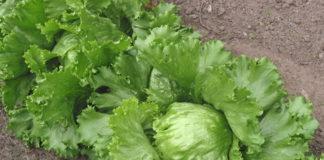 2011/11/lettuce_05.jpg