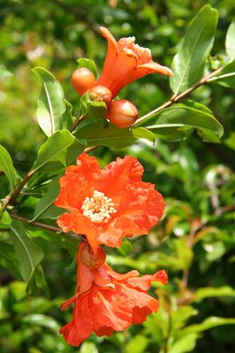 melograno fiori