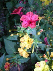 mirabilis fiori notturni