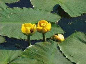 piante a rischio estinzione nenufaro%20nuphar%20luteum_04.jpg