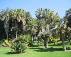 punteruolo rosso delle palme