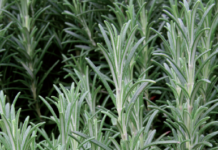 rosmarino foglie