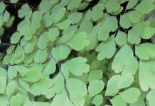 Capelvenere (Adiantum capillus-veneris)