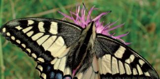 macaone fiori farfalle