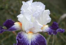 iris barbata viola e bianco