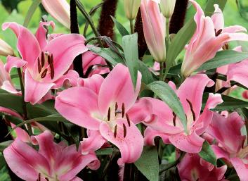 giglio lilium rosa