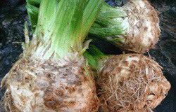 2011/11/sedano%20coltivazione_02.jpg