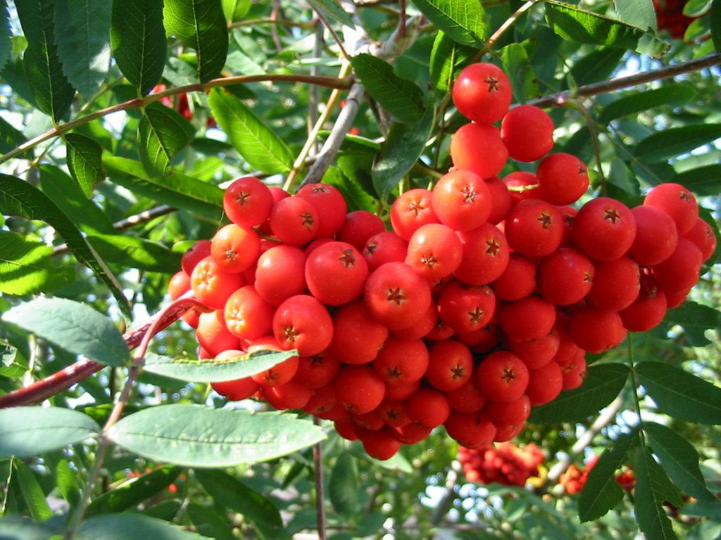 Alberi Ornamentali Da Giardino alberi da giardino: il sorbo o, meglio, i sorbi - passione