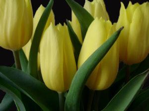 2011/11/tulipani_gialli_0.jpg