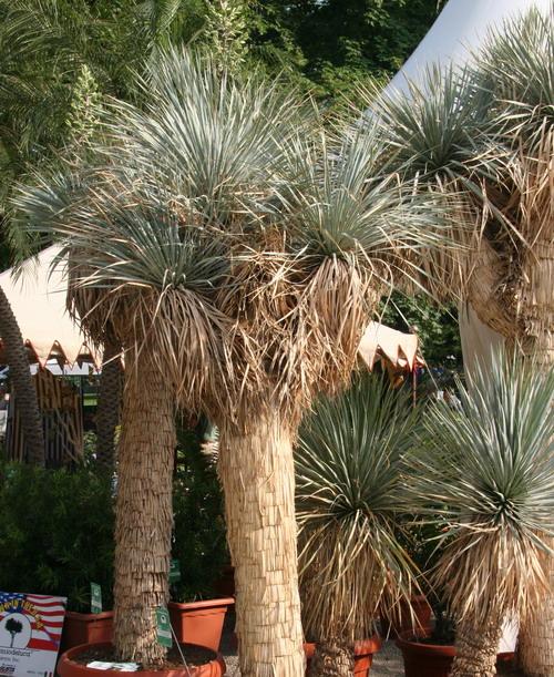2011/11/yucca.jpg