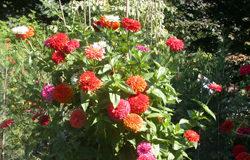 zinnie fiori doppi