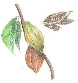 2012/01/cacao.JPG