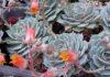 piante grasse echeveria