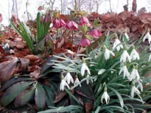 bulbose invernali bucaneve elleboro
