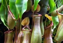 piante carnivore nepenthes otricoli