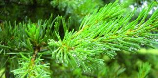 conifere aghi pinus_sylvestris2.jpg