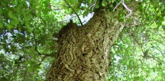 quercus suber corteccia quercia da sughero