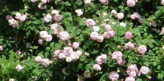 rosaio rose rosa