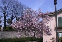 Prunus_da_fiore