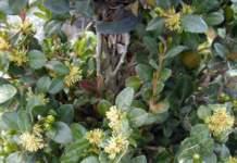 bosso buxus fiori