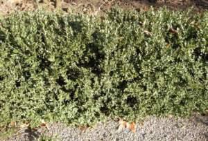 bosso Buxus siepe
