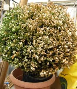 buxus bosso vaso foglie secche