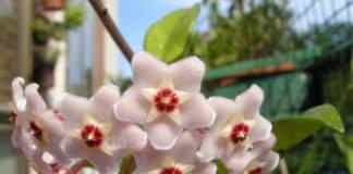 Hoya o fiore di cera: le infiorescenze sembrano quasi finte.