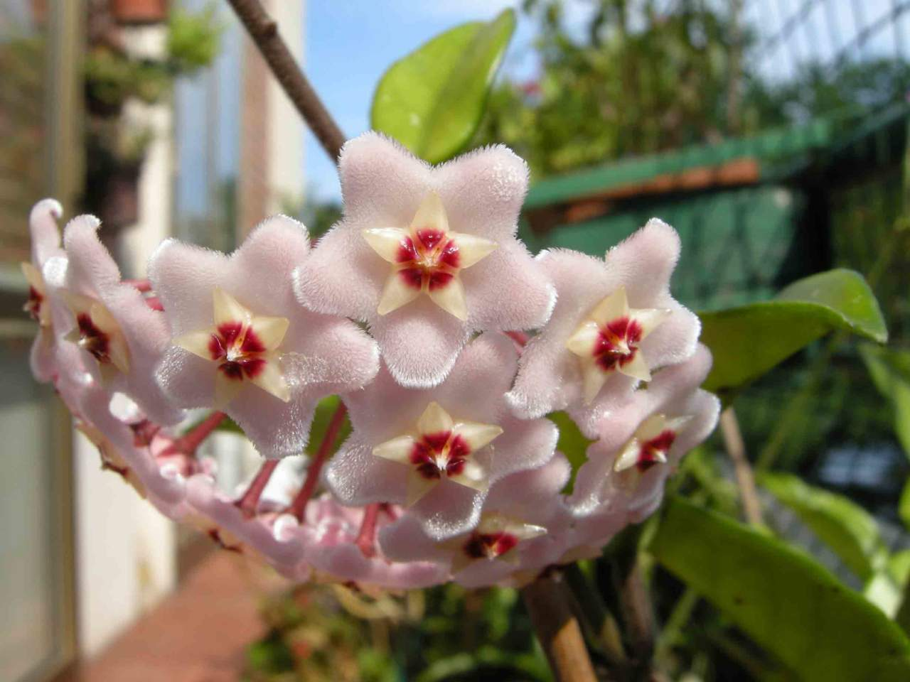 Piante Grasse Piccole Prezzi hoya o fiore di cera, pianta esotica - passione in verde