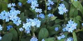 nontiscordardime fiori blu
