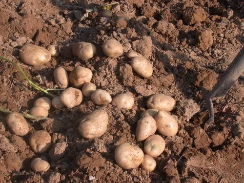 consociazioni patate