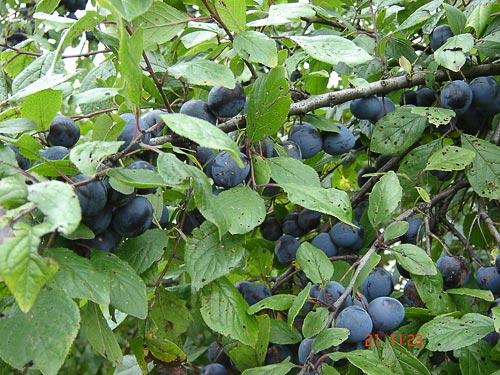 susino piante da frutto raccolto scarso