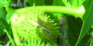 piante che sparano i semi datura stramonio