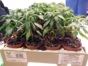 cannabis canapa vasetti