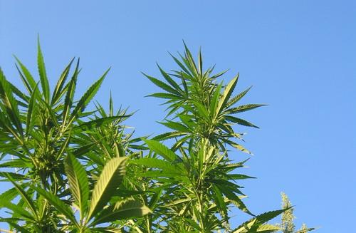 cannabis canapa