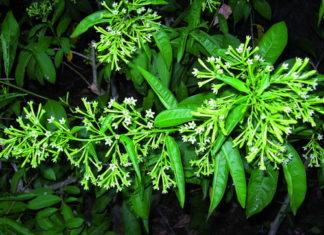 cestrum nocturnum fiori notturni