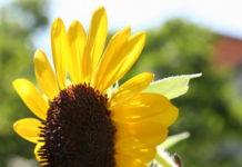 2012/05/girasole_0bd1d9fb.jpg